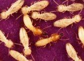 Trattamento antitarlo - termite formosa